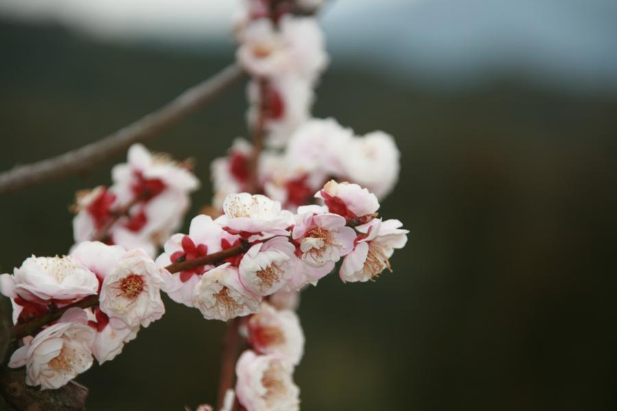 Shakura en Japón