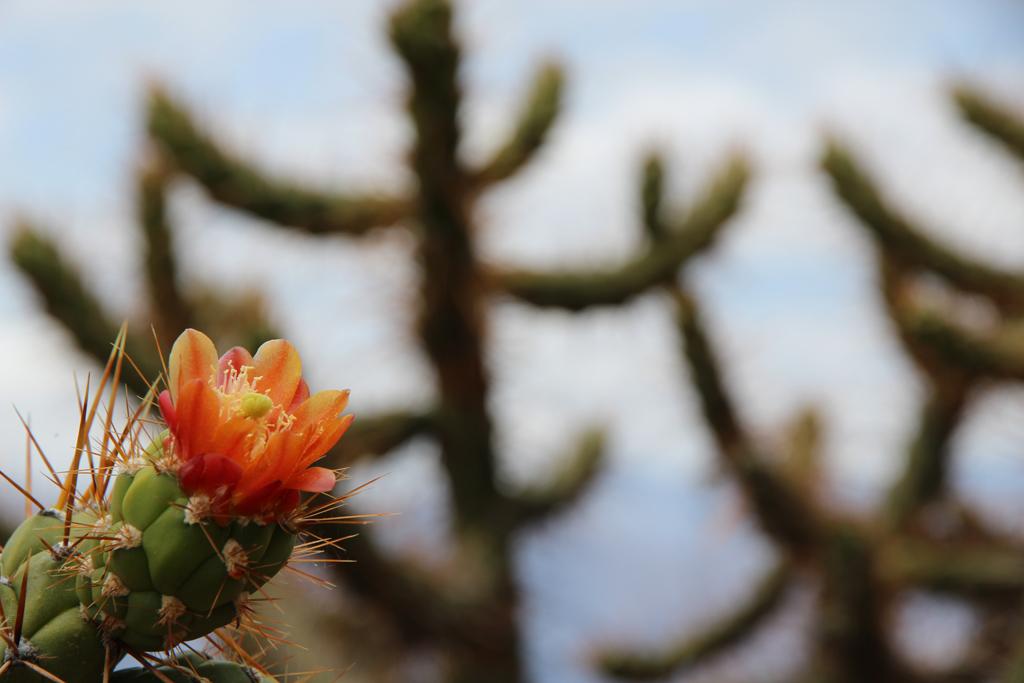 Flores%20de%20cactus
